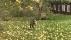 Ytterligare en bild på den omtalade vargen
