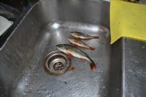 fiske (161)