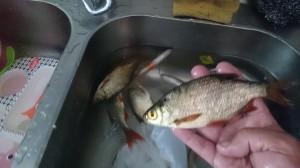 fiske (244)