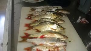 fiske (247)