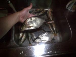 fiske (25)
